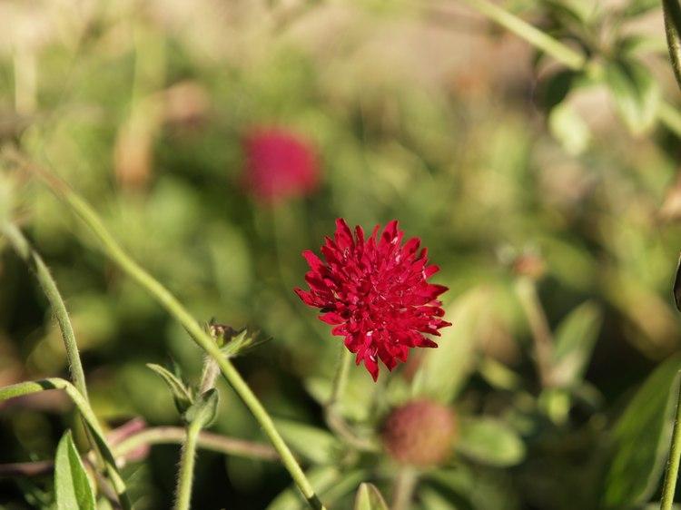 Susan's Garden - Red flower